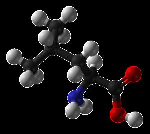 Leucin är den viktigaste grenade aminosyran.