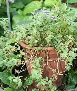 Ashwagandha växten vars extrakt från roten är intressant som tillskott
