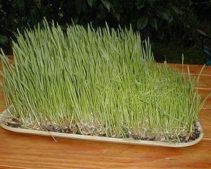 Råvaran till vetegräspulver